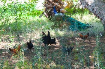 Hühner und Pfau
